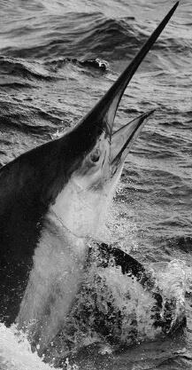 カジキマグロ、サメ、フカなど